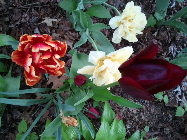 These stunning spring flowers grace a neighbor's yard. (Photo by Vickie Elmer)